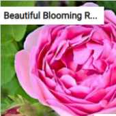 Beautiful Blooming Rose Jigsaw Puzzle Game