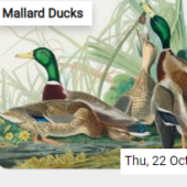 Mallard Ducks Jigsaw