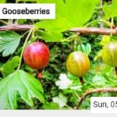 Gooseberries Jigsaw