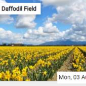 Daffodil Field Jigsaw