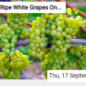 Ripe White Grapes On The Vine Jigsaw
