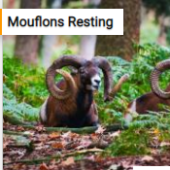 Mouflons Resting Jigsaw Puzzle Game