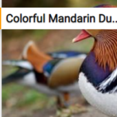 Colorful Mandarin Duck Jigsaw Puzzle Game