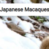 Japanese Macaques In Snow Jigsaw Puzzle Game