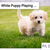 White Puppy Playing In The Grass Jigsaw