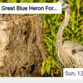 Great Blue Heron Foraging Jigsaw