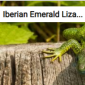 Iberian Emerald Lizard Jigsaw Puzzle Game